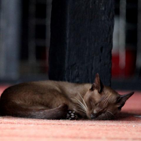 Burmese Cat - Inle Heritage